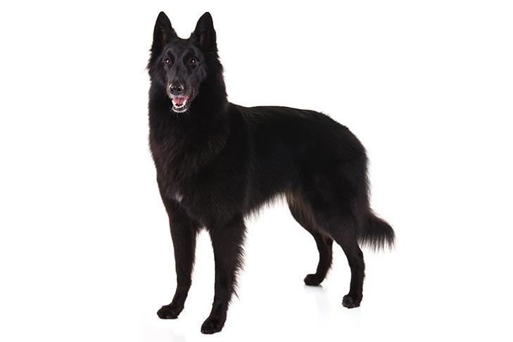 Pharmadna Combibreed Belgium Shepherd Dog